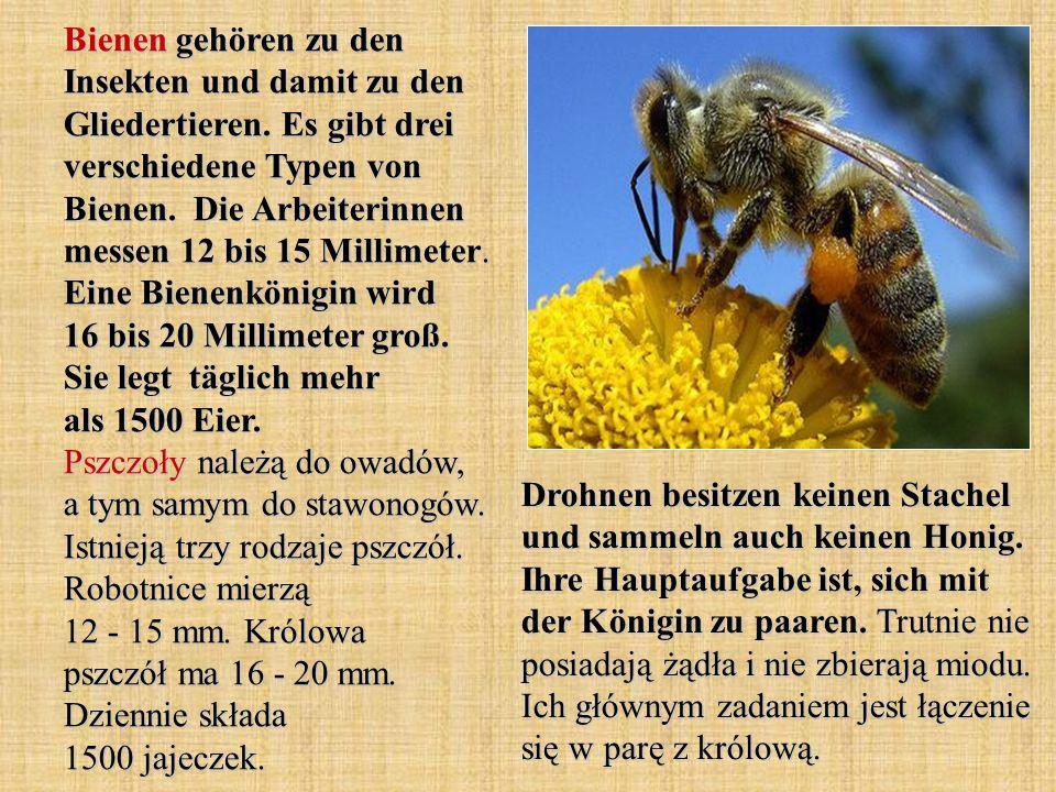 Bienen gehören zu den Insekten und damit zu den Gliedertieren