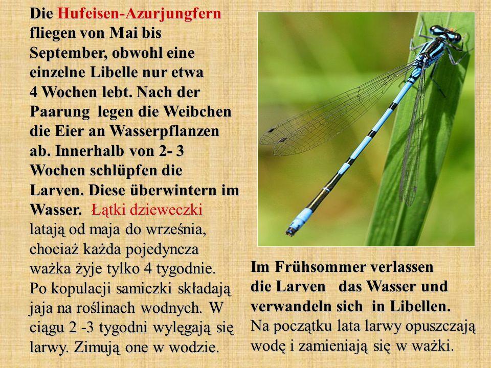 Die Hufeisen-Azurjungfern fliegen von Mai bis September, obwohl eine einzelne Libelle nur etwa 4 Wochen lebt. Nach der Paarung legen die Weibchen die Eier an Wasserpflanzen ab. Innerhalb von 2- 3 Wochen schlüpfen die Larven. Diese überwintern im Wasser. Łątki dzieweczki latają od maja do września, chociaż każda pojedyncza ważka żyje tylko 4 tygodnie. Po kopulacji samiczki składają jaja na roślinach wodnych. W ciągu 2 -3 tygodni wylęgają się larwy. Zimują one w wodzie.