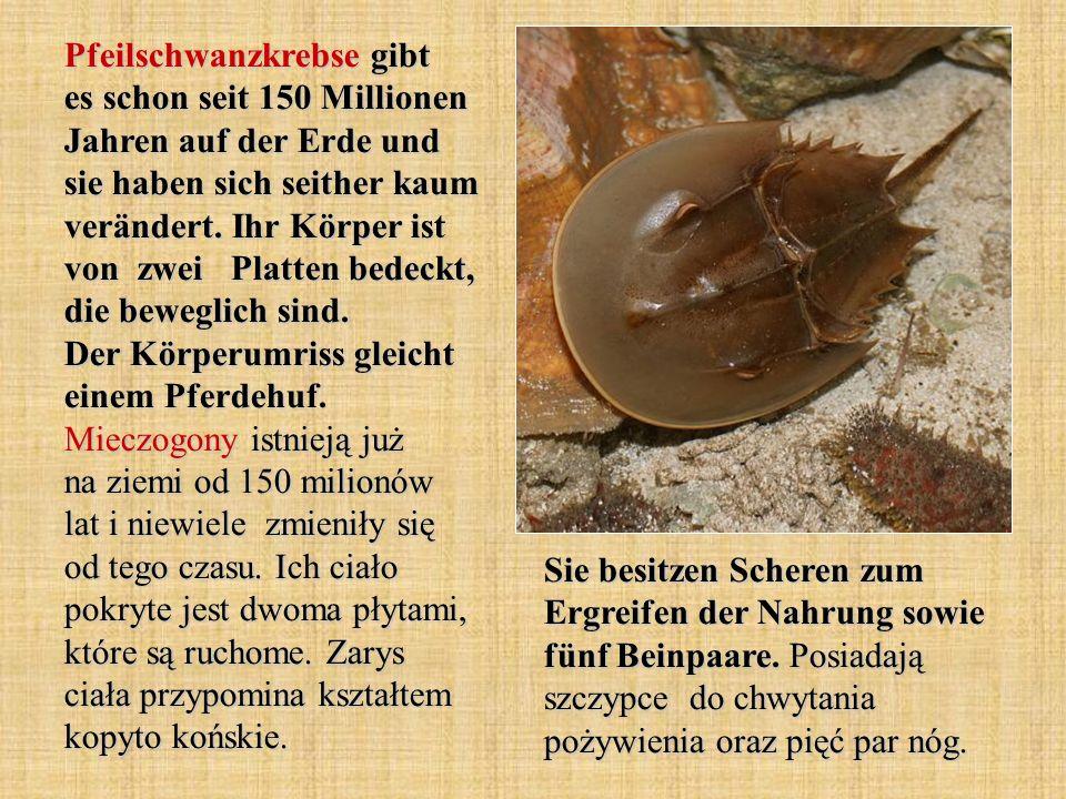 Pfeilschwanzkrebse gibt es schon seit 150 Millionen Jahren auf der Erde und sie haben sich seither kaum verändert. Ihr Körper ist von zwei Platten bedeckt, die beweglich sind. Der Körperumriss gleicht einem Pferdehuf. Mieczogony istnieją już na ziemi od 150 milionów lat i niewiele zmieniły się od tego czasu. Ich ciało pokryte jest dwoma płytami, które są ruchome. Zarys ciała przypomina kształtem kopyto końskie.