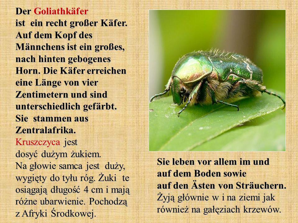 Der Goliathkäfer ist ein recht großer Käfer