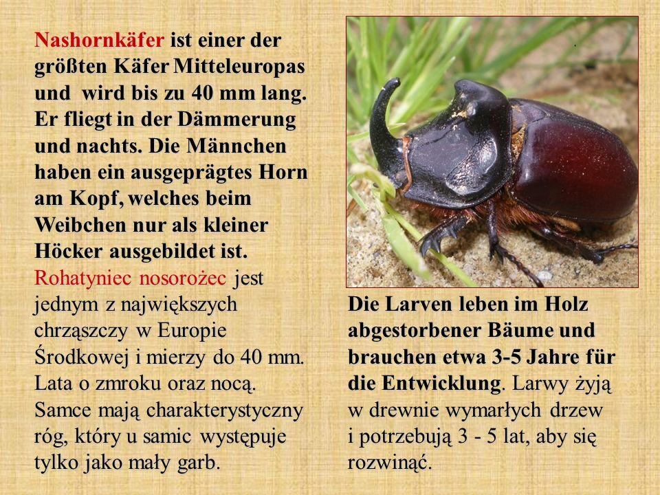 Nashornkäfer ist einer der größten Käfer Mitteleuropas und wird bis zu 40 mm lang. Er fliegt in der Dämmerung und nachts. Die Männchen haben ein ausgeprägtes Horn am Kopf, welches beim Weibchen nur als kleiner Höcker ausgebildet ist. Rohatyniec nosorożec jest jednym z największych chrząszczy w Europie Środkowej i mierzy do 40 mm. Lata o zmroku oraz nocą. Samce mają charakterystyczny róg, który u samic występuje tylko jako mały garb.