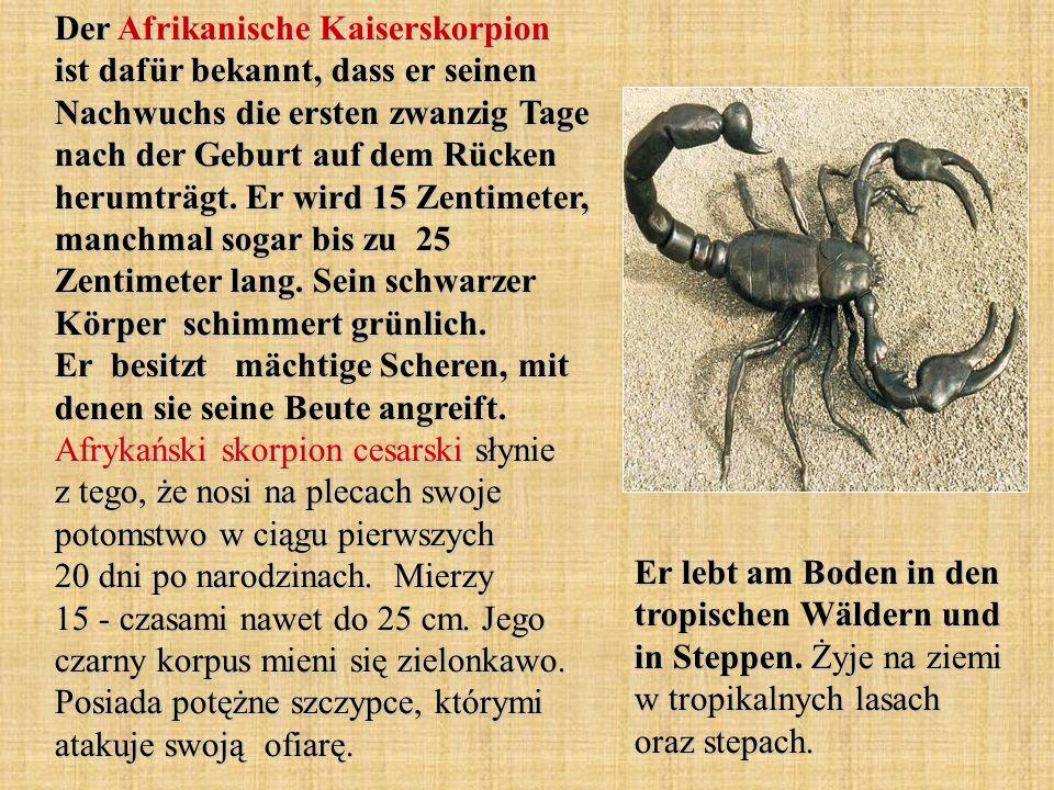 Der Afrikanische Kaiserskorpion ist dafür bekannt, dass er seinen Nachwuchs die ersten zwanzig Tage nach der Geburt auf dem Rücken herumträgt. Er wird 15 Zentimeter, manchmal sogar bis zu 25 Zentimeter lang. Sein schwarzer Körper schimmert grünlich. Er besitzt mächtige Scheren, mit denen sie seine Beute angreift. Afrykański skorpion cesarski słynie z tego, że nosi na plecach swoje potomstwo w ciągu pierwszych 20 dni po narodzinach. Mierzy 15 - czasami nawet do 25 cm. Jego czarny korpus mieni się zielonkawo. Posiada potężne szczypce, którymi atakuje swoją ofiarę.