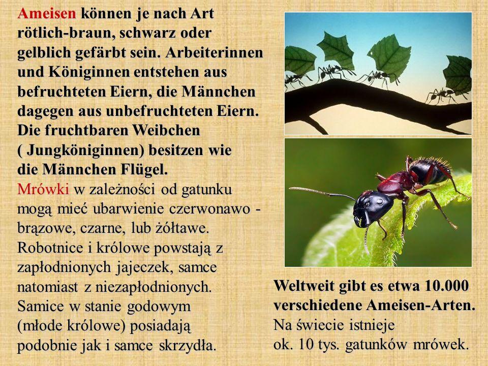 Ameisen können je nach Art rötlich-braun, schwarz oder gelblich gefärbt sein. Arbeiterinnen und Königinnen entstehen aus befruchteten Eiern, die Männchen dagegen aus unbefruchteten Eiern. Die fruchtbaren Weibchen ( Jungköniginnen) besitzen wie die Männchen Flügel. Mrówki w zależności od gatunku mogą mieć ubarwienie czerwonawo - brązowe, czarne, lub żółtawe. Robotnice i królowe powstają z zapłodnionych jajeczek, samce natomiast z niezapłodnionych. Samice w stanie godowym (młode królowe) posiadają podobnie jak i samce skrzydła.