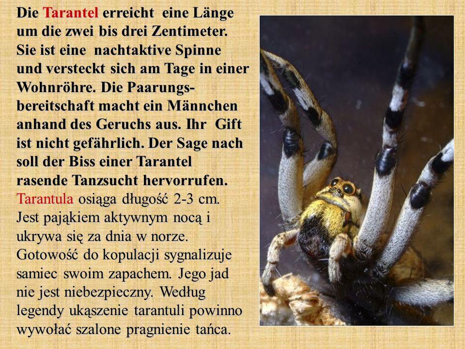 Die Tarantel erreicht eine Länge um die zwei bis drei Zentimeter