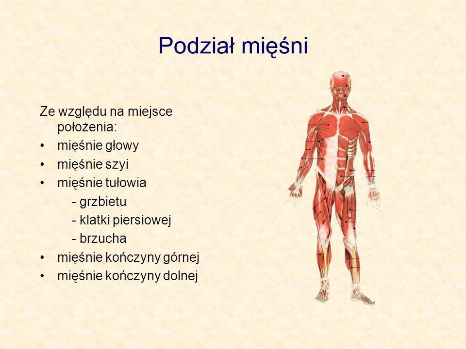 Podział mięśni Ze względu na miejsce położenia: mięśnie głowy