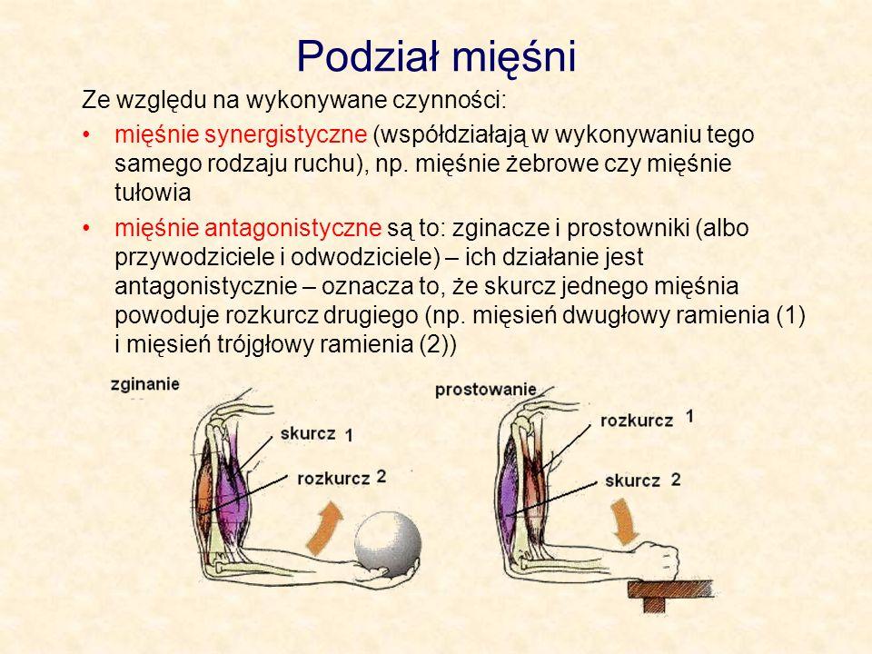 Podział mięśni Ze względu na wykonywane czynności:
