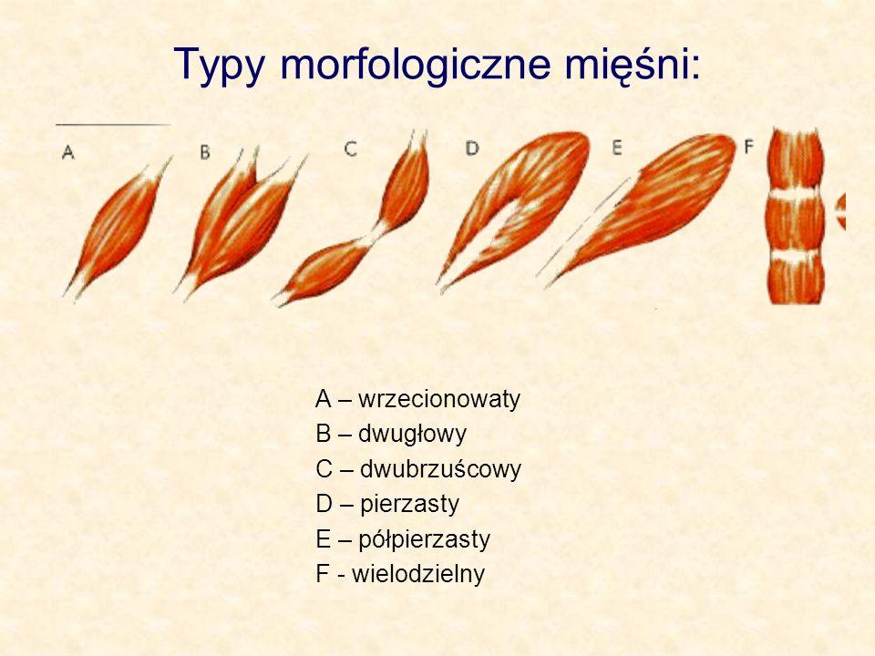 Typy morfologiczne mięśni: