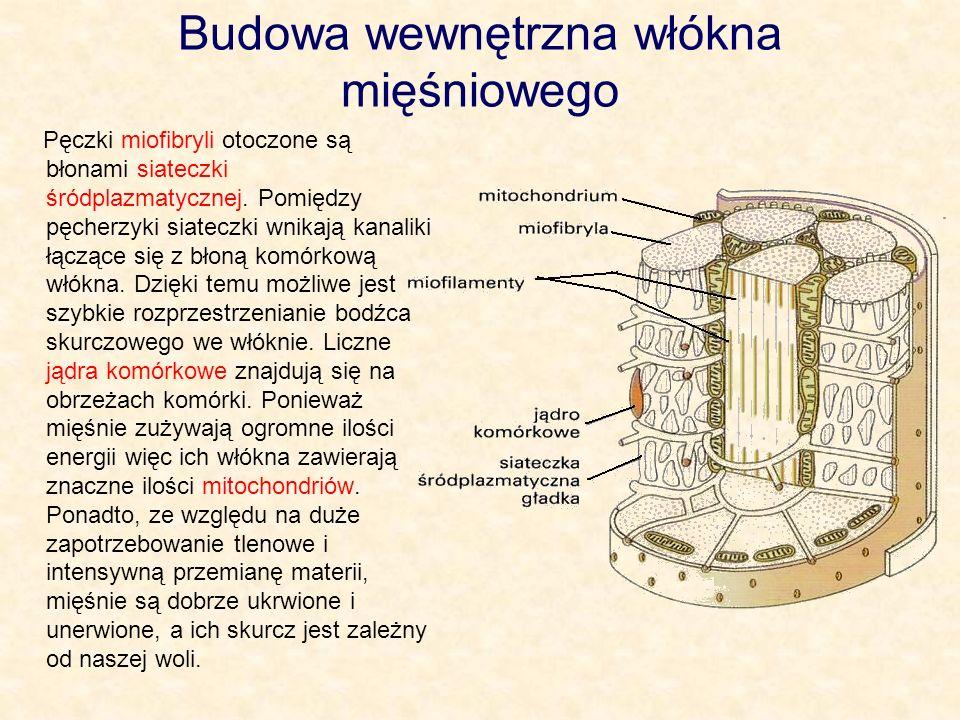 Budowa wewnętrzna włókna mięśniowego
