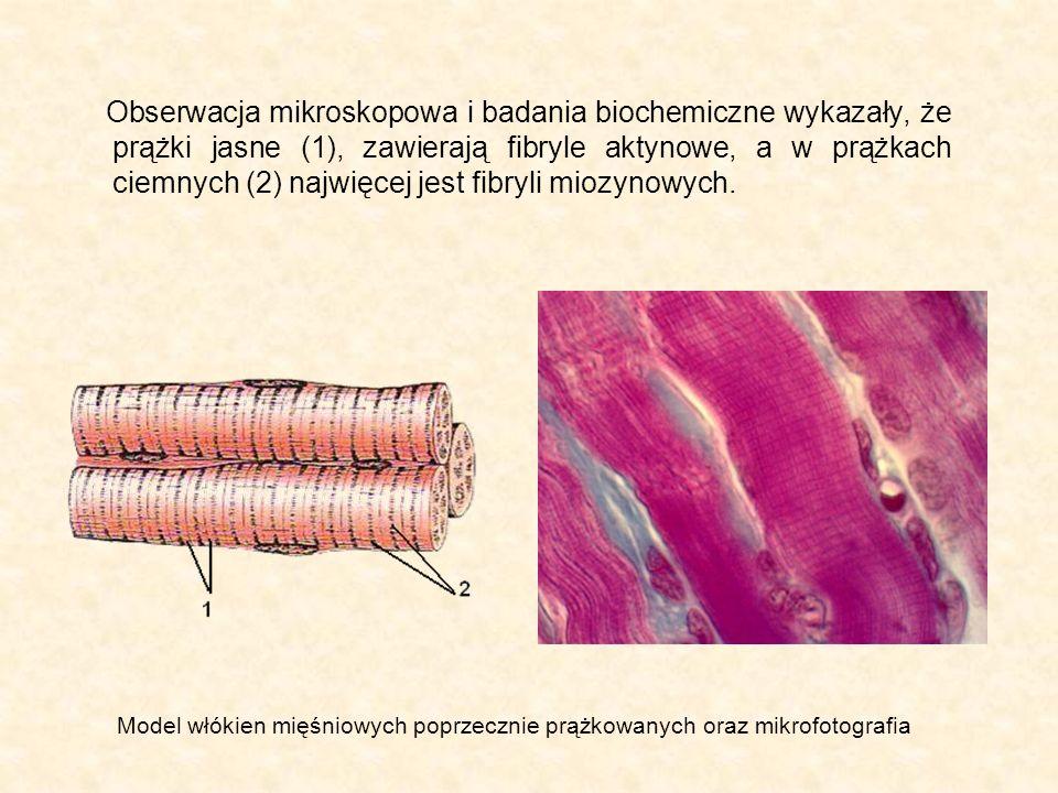 Obserwacja mikroskopowa i badania biochemiczne wykazały, że prążki jasne (1), zawierają fibryle aktynowe, a w prążkach ciemnych (2) najwięcej jest fibryli miozynowych.