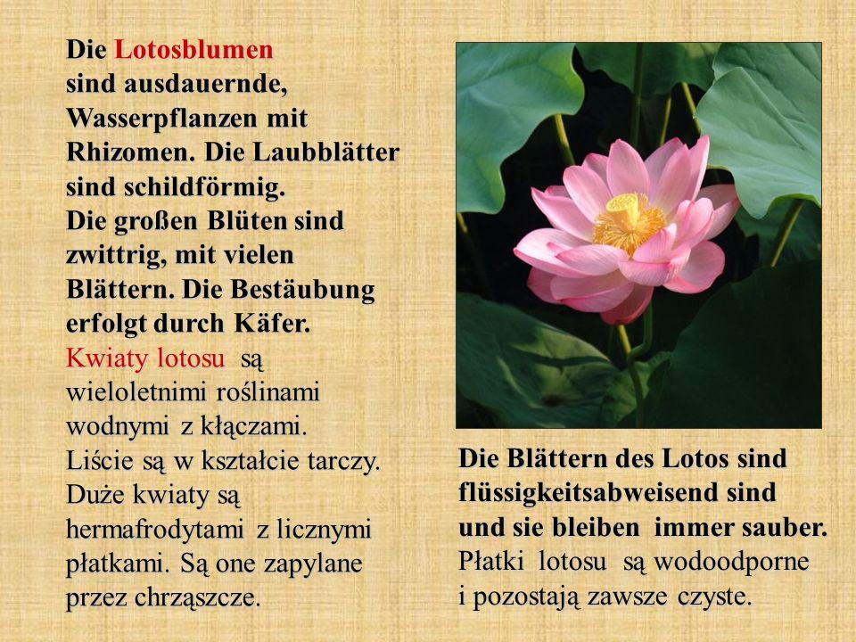Die Lotosblumen sind ausdauernde, Wasserpflanzen mit Rhizomen