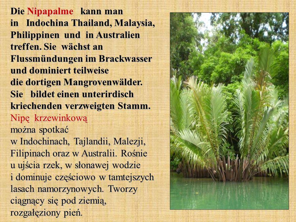Die Nipapalme kann man in Indochina Thailand, Malaysia, Philippinen und in Australien treffen.