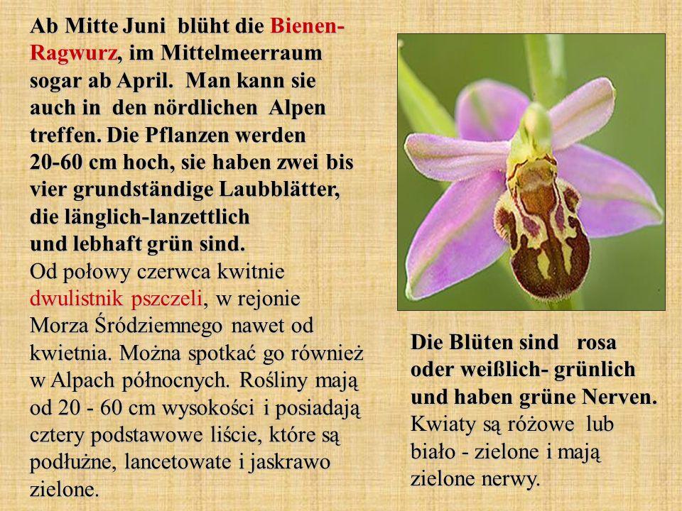 Ab Mitte Juni blüht die Bienen- Ragwurz, im Mittelmeerraum sogar ab April. Man kann sie auch in den nördlichen Alpen treffen. Die Pflanzen werden 20-60 cm hoch, sie haben zwei bis vier grundständige Laubblätter, die länglich-lanzettlich und lebhaft grün sind. Od połowy czerwca kwitnie dwulistnik pszczeli, w rejonie Morza Śródziemnego nawet od kwietnia. Można spotkać go również w Alpach północnych. Rośliny mają od 20 - 60 cm wysokości i posiadają cztery podstawowe liście, które są podłużne, lancetowate i jaskrawo zielone.