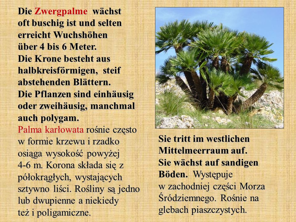 Die Zwergpalme wächst oft buschig ist und selten erreicht Wuchshöhen über 4 bis 6 Meter. Die Krone besteht aus halbkreisförmigen, steif abstehenden Blättern. Die Pflanzen sind einhäusig oder zweihäusig, manchmal auch polygam. Palma karłowata rośnie często w formie krzewu i rzadko osiąga wysokość powyżej 4-6 m. Korona składa się z półokrągłych, wystających sztywno liści. Rośliny są jedno lub dwupienne a niekiedy też i poligamiczne.