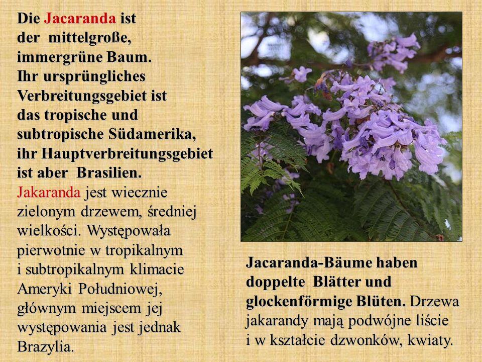 Die Jacaranda ist der mittelgroße, immergrüne Baum