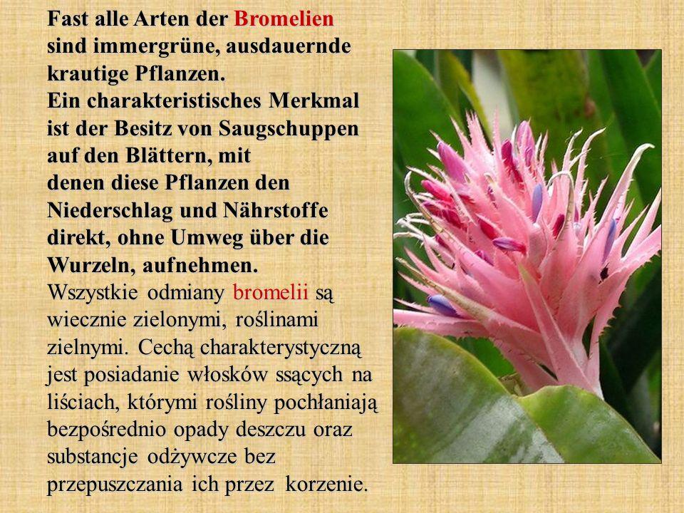 Fast alle Arten der Bromelien sind immergrüne, ausdauernde krautige Pflanzen.