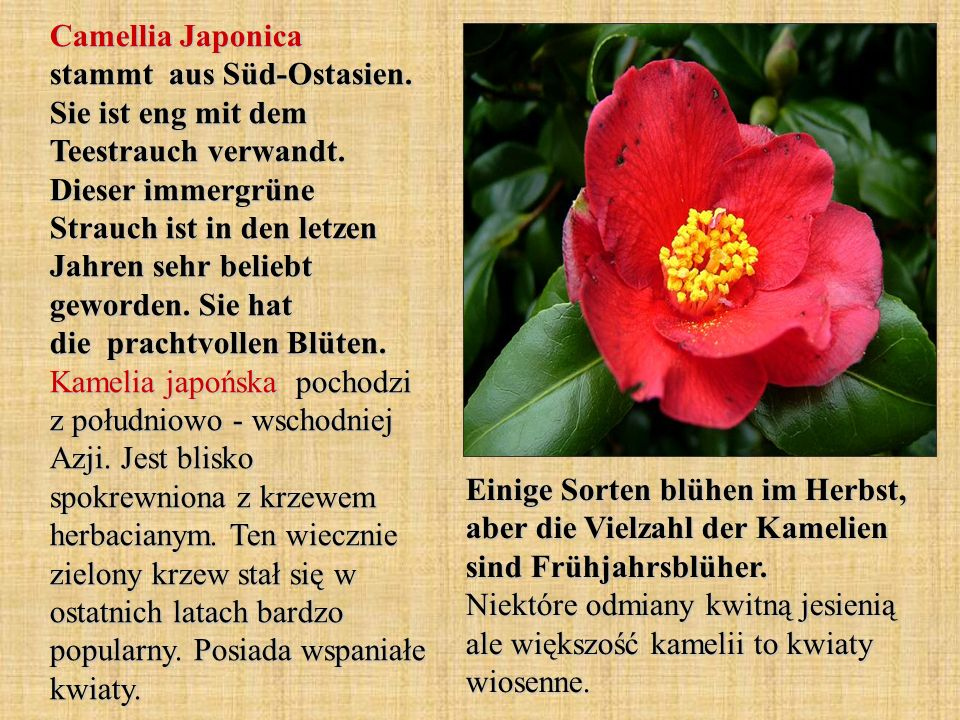 Camellia Japonica stammt aus Süd-Ostasien