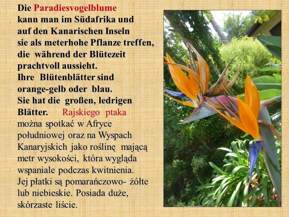 Die Paradiesvogelblume kann man im Südafrika und auf den Kanarischen Inseln sie als meterhohe Pflanze treffen, die während der Blütezeit prachtvoll aussieht.