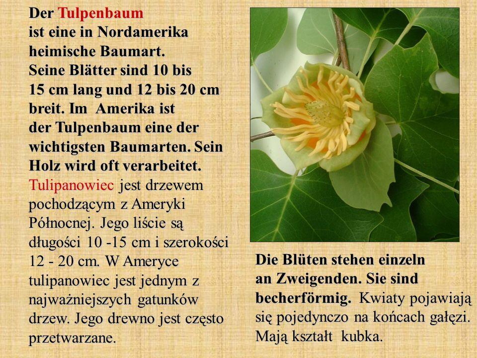 Der Tulpenbaum ist eine in Nordamerika heimische Baumart