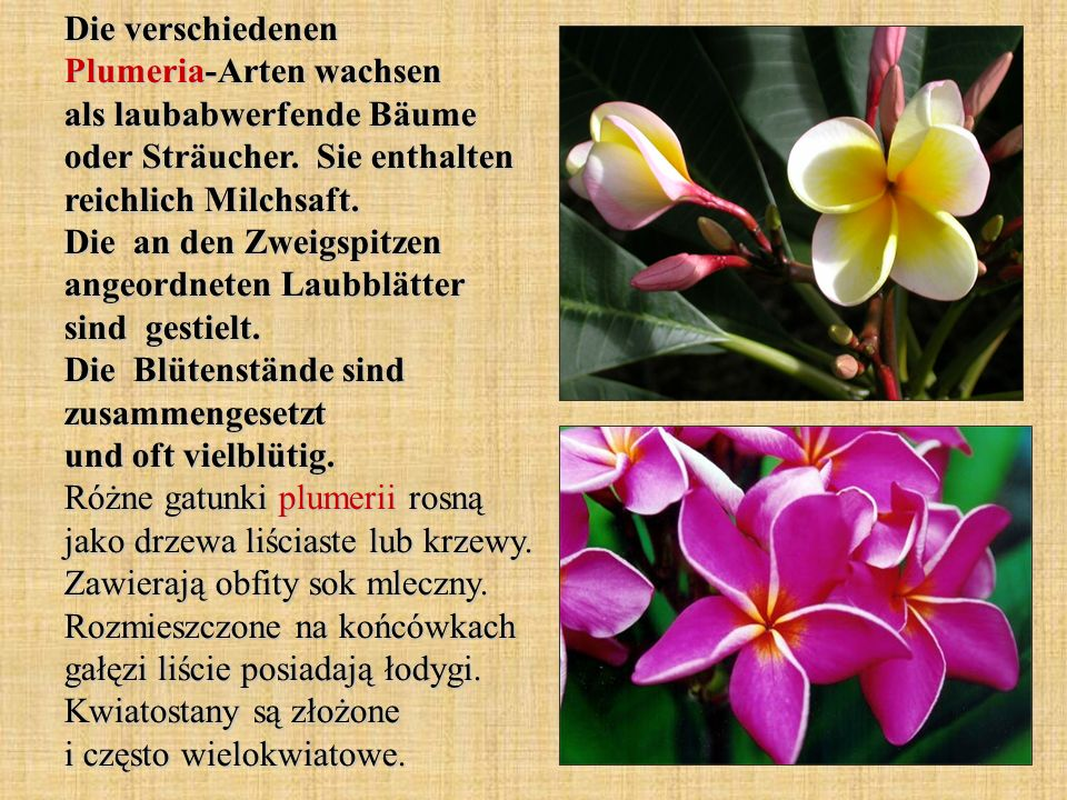 Die verschiedenen Plumeria-Arten wachsen als laubabwerfende Bäume oder Sträucher.