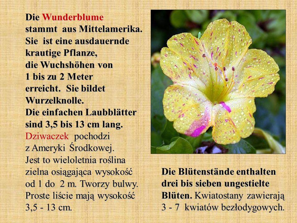 Die Wunderblume stammt aus Mittelamerika