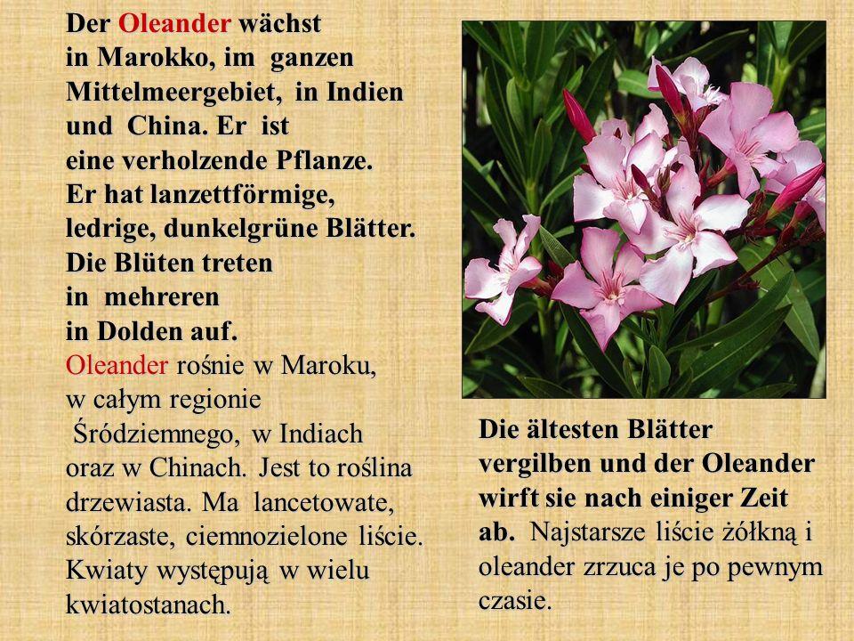 Der Oleander wächst in Marokko, im ganzen Mittelmeergebiet, in Indien und China. Er ist eine verholzende Pflanze. Er hat lanzettförmige, ledrige, dunkelgrüne Blätter. Die Blüten treten in mehreren in Dolden auf. Oleander rośnie w Maroku, w całym regionie Śródziemnego, w Indiach oraz w Chinach. Jest to roślina drzewiasta. Ma lancetowate, skórzaste, ciemnozielone liście. Kwiaty występują w wielu kwiatostanach.
