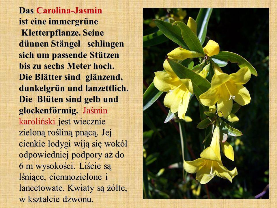 Das Carolina-Jasmin ist eine immergrüne Kletterpflanze