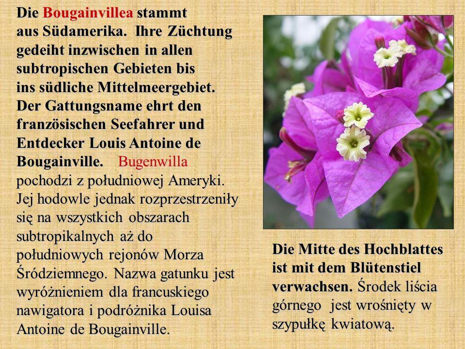 Die Bougainvillea stammt aus Südamerika