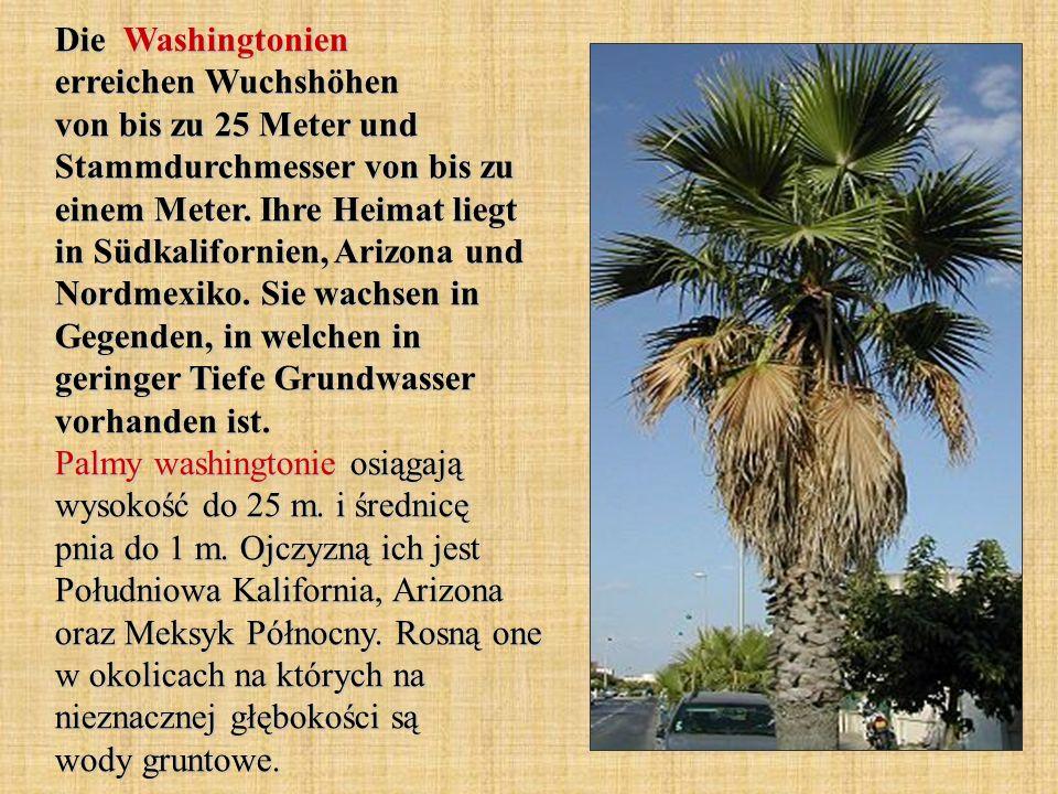Die Washingtonien erreichen Wuchshöhen von bis zu 25 Meter und Stammdurchmesser von bis zu einem Meter.