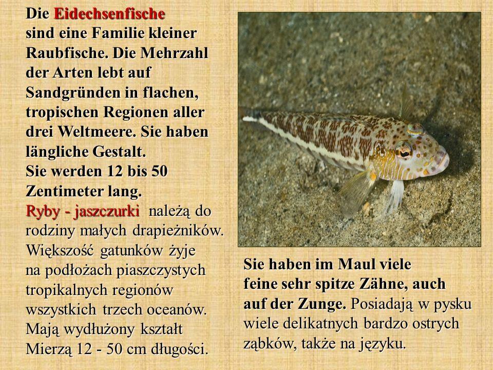 Die Eidechsenfische sind eine Familie kleiner Raubfische