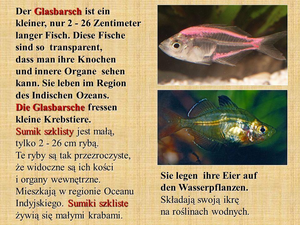 Der Glasbarsch ist ein kleiner, nur 2 - 26 Zentimeter langer Fisch