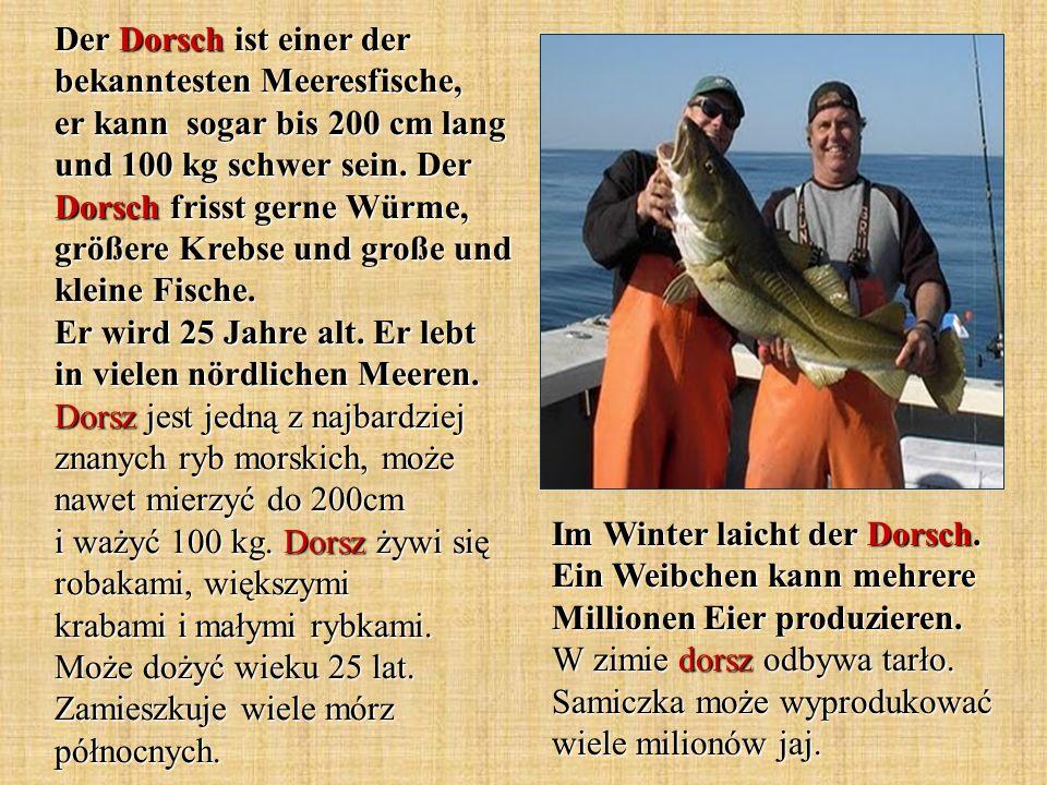 Der Dorsch ist einer der bekanntesten Meeresfische, er kann sogar bis 200 cm lang und 100 kg schwer sein. Der Dorsch frisst gerne Würme, größere Krebse und große und kleine Fische. Er wird 25 Jahre alt. Er lebt in vielen nördlichen Meeren. Dorsz jest jedną z najbardziej znanych ryb morskich, może nawet mierzyć do 200cm i ważyć 100 kg. Dorsz żywi się robakami, większymi krabami i małymi rybkami. Może dożyć wieku 25 lat. Zamieszkuje wiele mórz północnych.