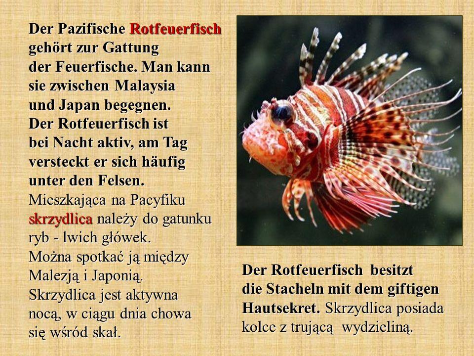 Der Pazifische Rotfeuerfisch gehört zur Gattung der Feuerfische