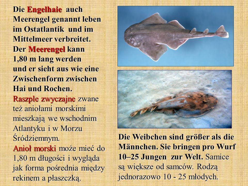 Die Engelhaie auch Meerengel genannt leben im Ostatlantik und im Mittelmeer verbreitet. Der Meerengel kann 1,80 m lang werden und er sieht aus wie eine Zwischenform zwischen Hai und Rochen. Raszple zwyczajne zwane też aniołami morskimi mieszkają we wschodnim Atlantyku i w Morzu Śródziemnym. Anioł morski może mieć do 1,80 m długości i wygląda jak forma pośrednia między rekinem a płaszczką.