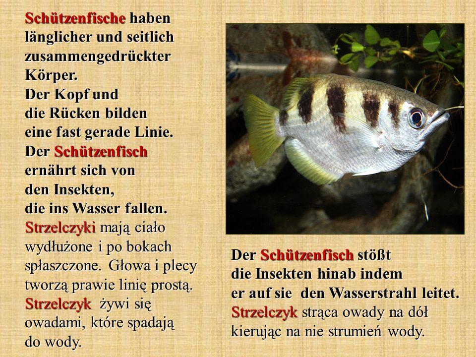 Schützenfische haben länglicher und seitlich zusammengedrückter Körper