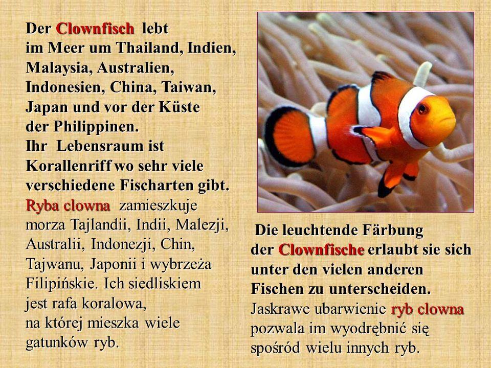 Der Clownfisch lebt im Meer um Thailand, Indien, Malaysia, Australien, Indonesien, China, Taiwan, Japan und vor der Küste der Philippinen. Ihr Lebensraum ist Korallenriff wo sehr viele verschiedene Fischarten gibt. Ryba clowna zamieszkuje morza Tajlandii, Indii, Malezji, Australii, Indonezji, Chin, Tajwanu, Japonii i wybrzeża Filipińskie. Ich siedliskiem jest rafa koralowa, na której mieszka wiele gatunków ryb.