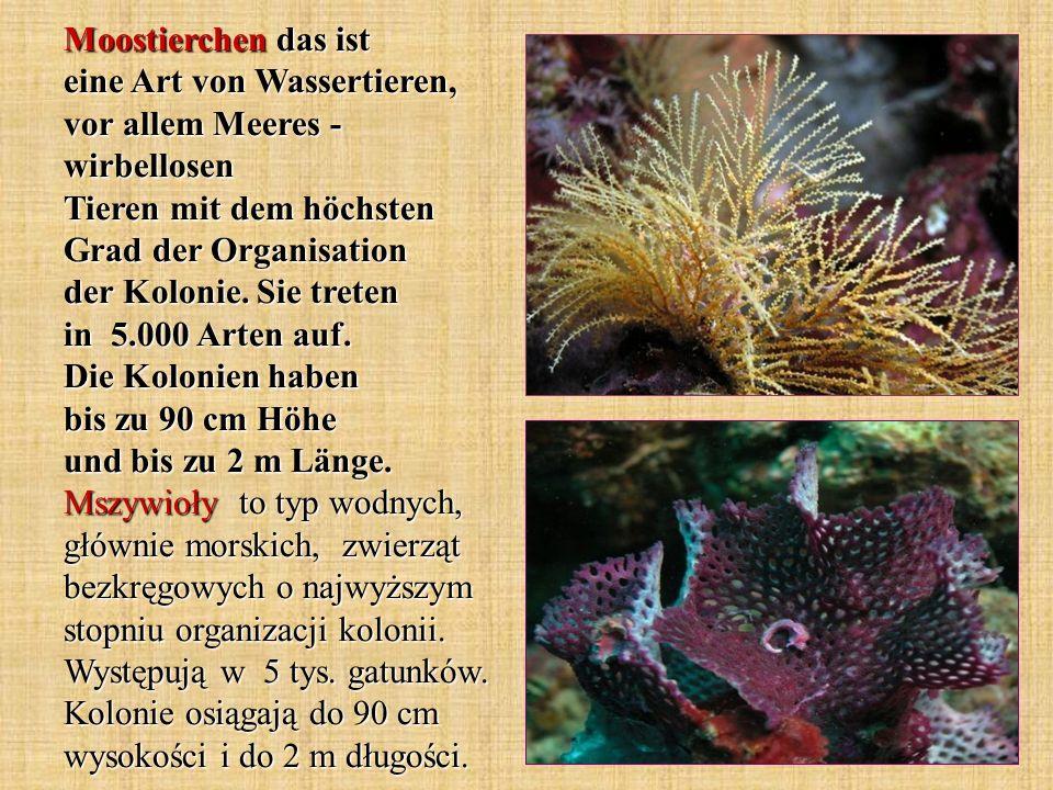 Moostierchen das ist eine Art von Wassertieren, vor allem Meeres - wirbellosen Tieren mit dem höchsten Grad der Organisation der Kolonie.