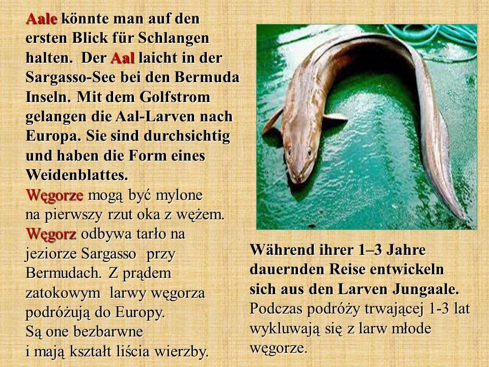 Aale könnte man auf den ersten Blick für Schlangen halten
