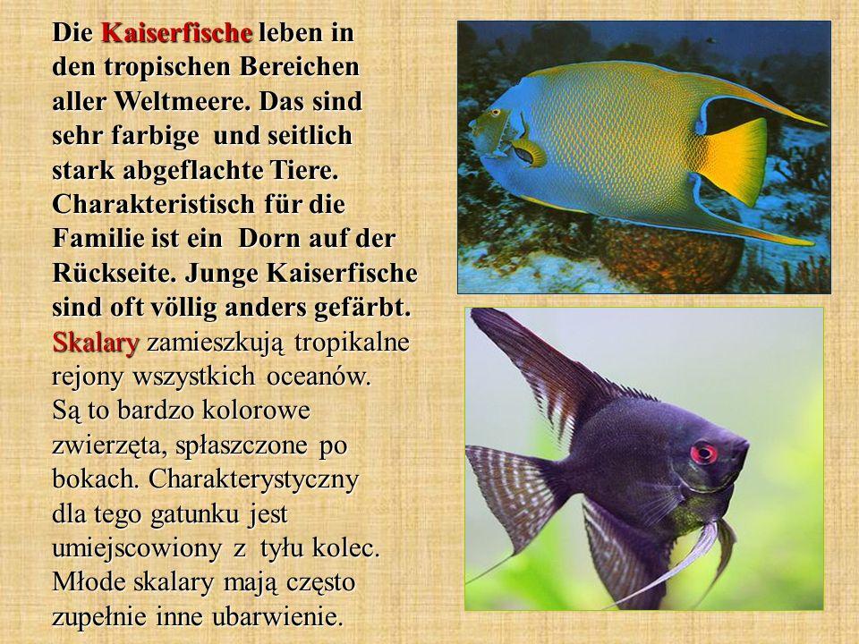 Die Kaiserfische leben in den tropischen Bereichen aller Weltmeere