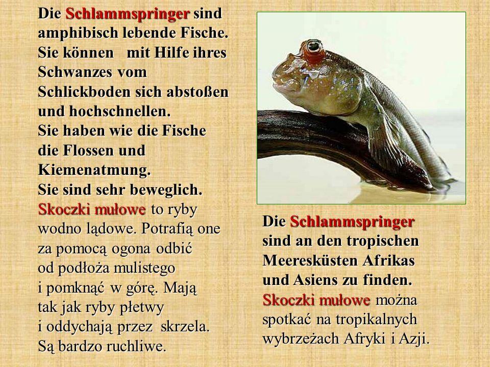 Die Schlammspringer sind amphibisch lebende Fische