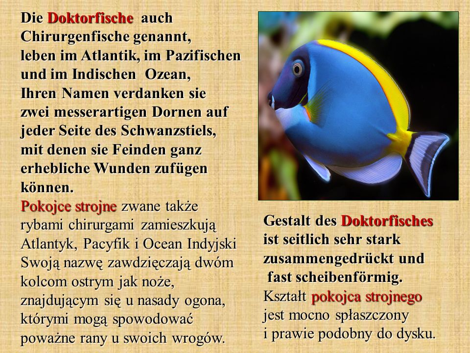 Die Doktorfische auch Chirurgenfische genannt, leben im Atlantik, im Pazifischen und im Indischen Ozean, Ihren Namen verdanken sie zwei messerartigen Dornen auf jeder Seite des Schwanzstiels, mit denen sie Feinden ganz erhebliche Wunden zufügen können. Pokojce strojne zwane także rybami chirurgami zamieszkują Atlantyk, Pacyfik i Ocean Indyjski Swoją nazwę zawdzięczają dwóm kolcom ostrym jak noże, znajdującym się u nasady ogona, którymi mogą spowodować poważne rany u swoich wrogów.