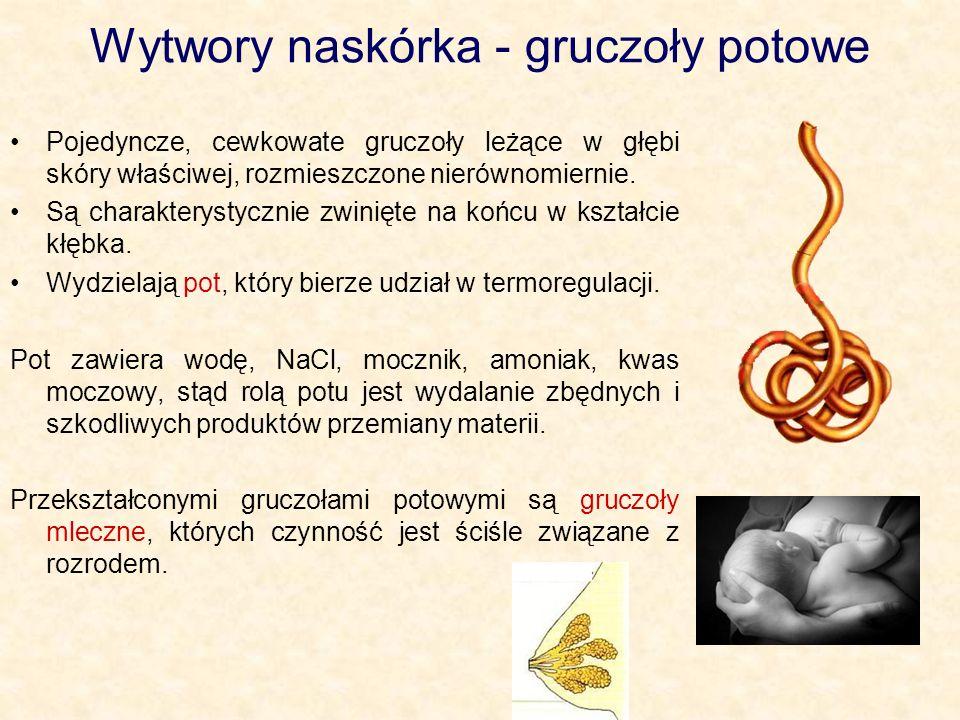 Wytwory naskórka - gruczoły potowe