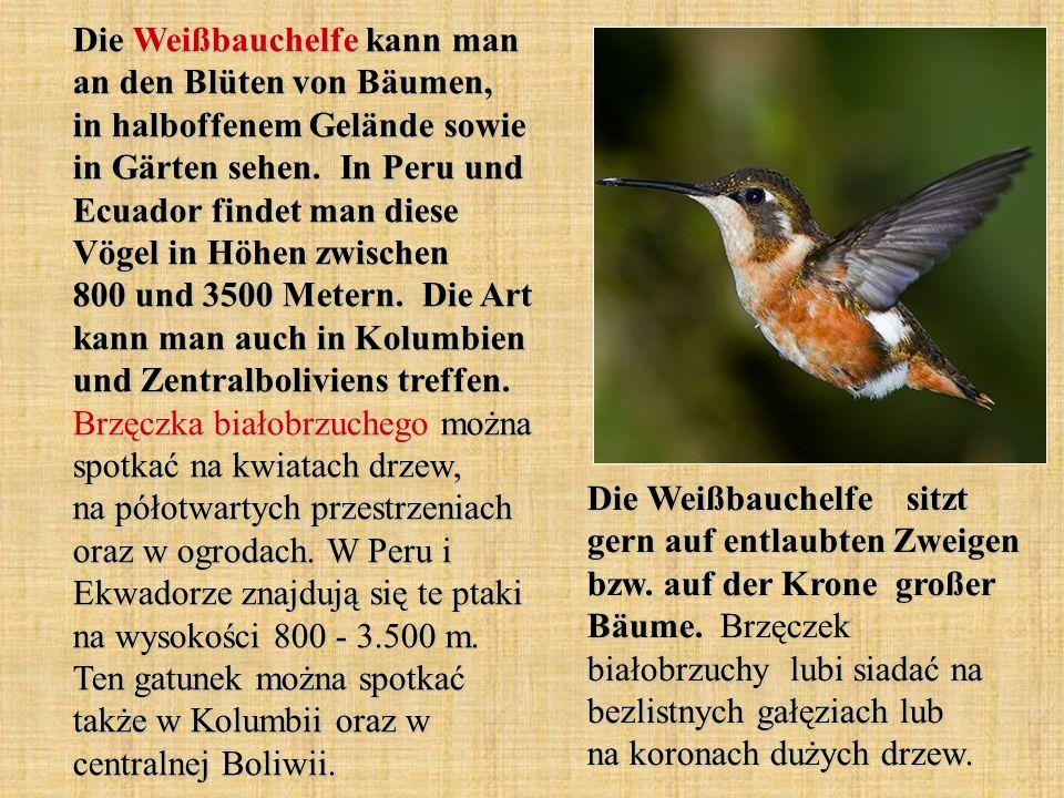 Die Weißbauchelfe kann man an den Blüten von Bäumen, in halboffenem Gelände sowie in Gärten sehen. In Peru und Ecuador findet man diese Vögel in Höhen zwischen 800 und 3500 Metern. Die Art kann man auch in Kolumbien und Zentralboliviens treffen. Brzęczka białobrzuchego można spotkać na kwiatach drzew, na półotwartych przestrzeniach oraz w ogrodach. W Peru i Ekwadorze znajdują się te ptaki na wysokości 800 - 3.500 m. Ten gatunek można spotkać także w Kolumbii oraz w centralnej Boliwii.