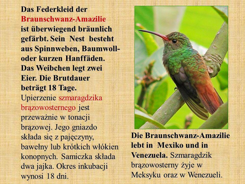 Das Federkleid der Braunschwanz-Amazilie ist überwiegend bräunlich gefärbt. Sein Nest besteht aus Spinnweben, Baumwoll- oder kurzen Hanffäden. Das Weibchen legt zwei Eier. Die Brutdauer beträgt 18 Tage. Upierzenie szmaragdzika brązowosternego jest przeważnie w tonacji brązowej. Jego gniazdo składa się z pajęczyny, bawełny lub krótkich włókien konopnych. Samiczka składa dwa jajka. Okres inkubacji wynosi 18 dni.