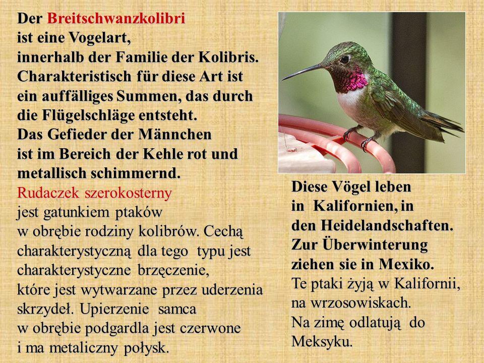 Der Breitschwanzkolibri ist eine Vogelart, innerhalb der Familie der Kolibris. Charakteristisch für diese Art ist ein auffälliges Summen, das durch die Flügelschläge entsteht. Das Gefieder der Männchen ist im Bereich der Kehle rot und metallisch schimmernd. Rudaczek szerokosterny jest gatunkiem ptaków w obrębie rodziny kolibrów. Cechą charakterystyczną dla tego typu jest charakterystyczne brzęczenie, które jest wytwarzane przez uderzenia skrzydeł. Upierzenie samca w obrębie podgardla jest czerwone i ma metaliczny połysk.