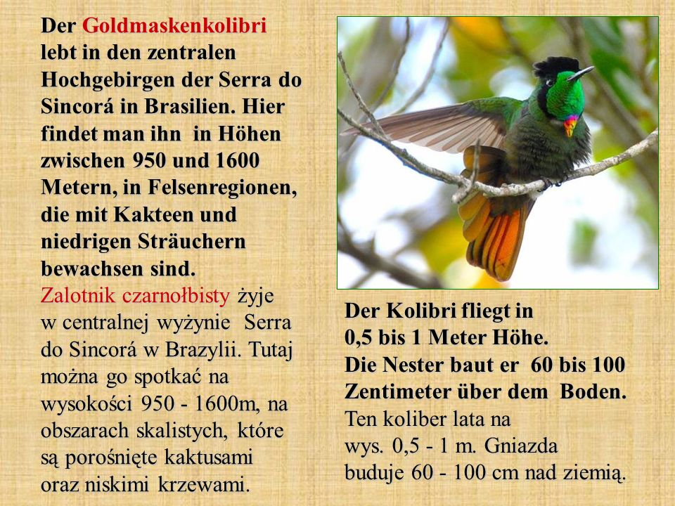 Der Goldmaskenkolibri lebt in den zentralen Hochgebirgen der Serra do Sincorá in Brasilien. Hier findet man ihn in Höhen zwischen 950 und 1600 Metern, in Felsenregionen, die mit Kakteen und niedrigen Sträuchern bewachsen sind. Zalotnik czarnołbisty żyje w centralnej wyżynie Serra do Sincorá w Brazylii. Tutaj można go spotkać na wysokości 950 - 1600m, na obszarach skalistych, które są porośnięte kaktusami oraz niskimi krzewami.