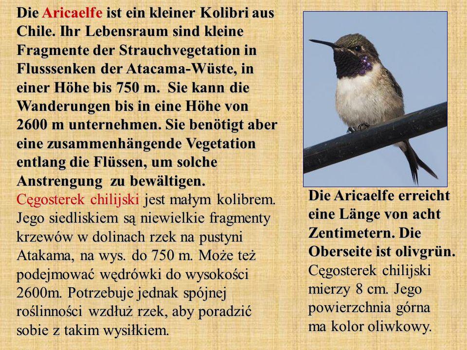 Die Aricaelfe ist ein kleiner Kolibri aus Chile