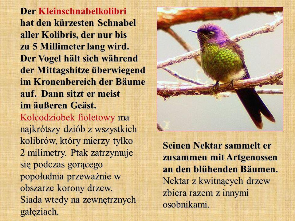 Der Kleinschnabelkolibri hat den kürzesten Schnabel aller Kolibris, der nur bis zu 5 Millimeter lang wird. Der Vogel hält sich während der Mittagshitze überwiegend im Kronenbereich der Bäume auf. Dann sitzt er meist im äußeren Geäst. Kolcodziobek fioletowy ma najkrótszy dziób z wszystkich kolibrów, który mierzy tylko 2 milimetry. Ptak zatrzymuje się podczas gorącego popołudnia przeważnie w obszarze korony drzew. Siada wtedy na zewnętrznych gałęziach.