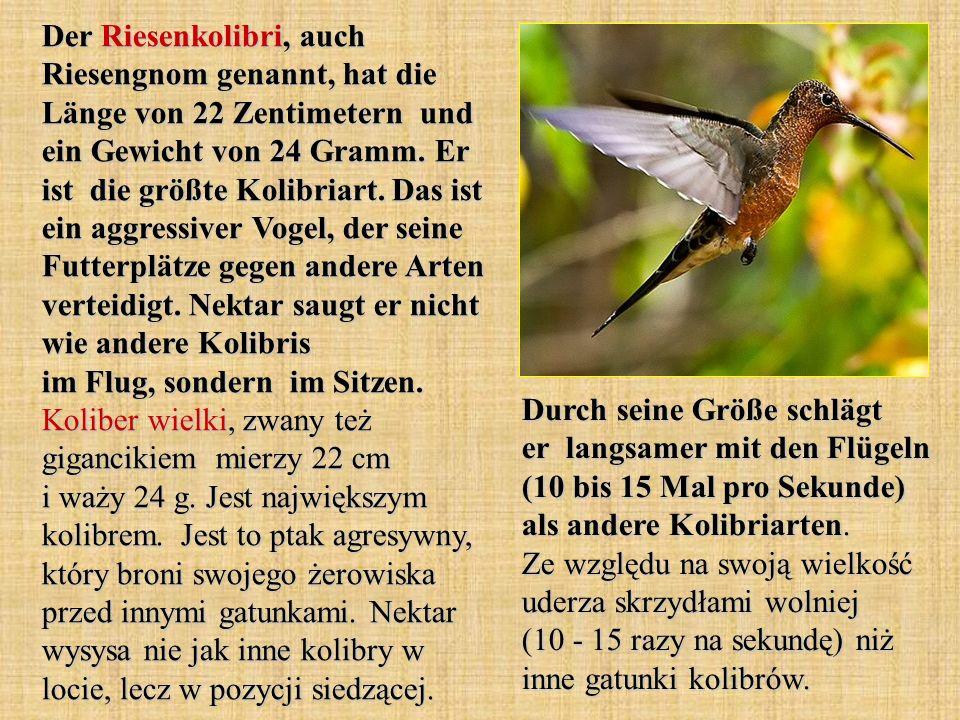 Der Riesenkolibri, auch Riesengnom genannt, hat die Länge von 22 Zentimetern und ein Gewicht von 24 Gramm. Er ist die größte Kolibriart. Das ist ein aggressiver Vogel, der seine Futterplätze gegen andere Arten verteidigt. Nektar saugt er nicht wie andere Kolibris im Flug, sondern im Sitzen. Koliber wielki, zwany też gigancikiem mierzy 22 cm i waży 24 g. Jest największym kolibrem. Jest to ptak agresywny, który broni swojego żerowiska przed innymi gatunkami. Nektar wysysa nie jak inne kolibry w locie, lecz w pozycji siedzącej.