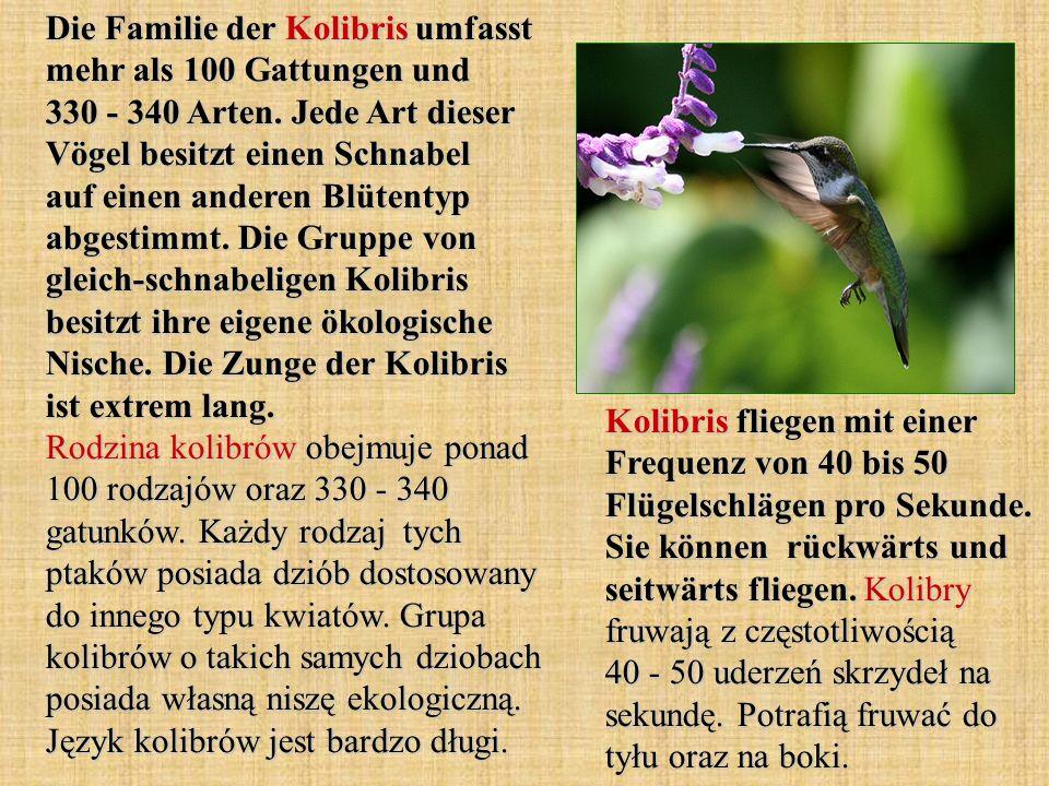 Die Familie der Kolibris umfasst mehr als 100 Gattungen und 330 - 340 Arten. Jede Art dieser Vögel besitzt einen Schnabel auf einen anderen Blütentyp abgestimmt. Die Gruppe von gleich-schnabeligen Kolibris besitzt ihre eigene ökologische Nische. Die Zunge der Kolibris ist extrem lang. Rodzina kolibrów obejmuje ponad 100 rodzajów oraz 330 - 340 gatunków. Każdy rodzaj tych ptaków posiada dziób dostosowany do innego typu kwiatów. Grupa kolibrów o takich samych dziobach posiada własną niszę ekologiczną. Język kolibrów jest bardzo długi.