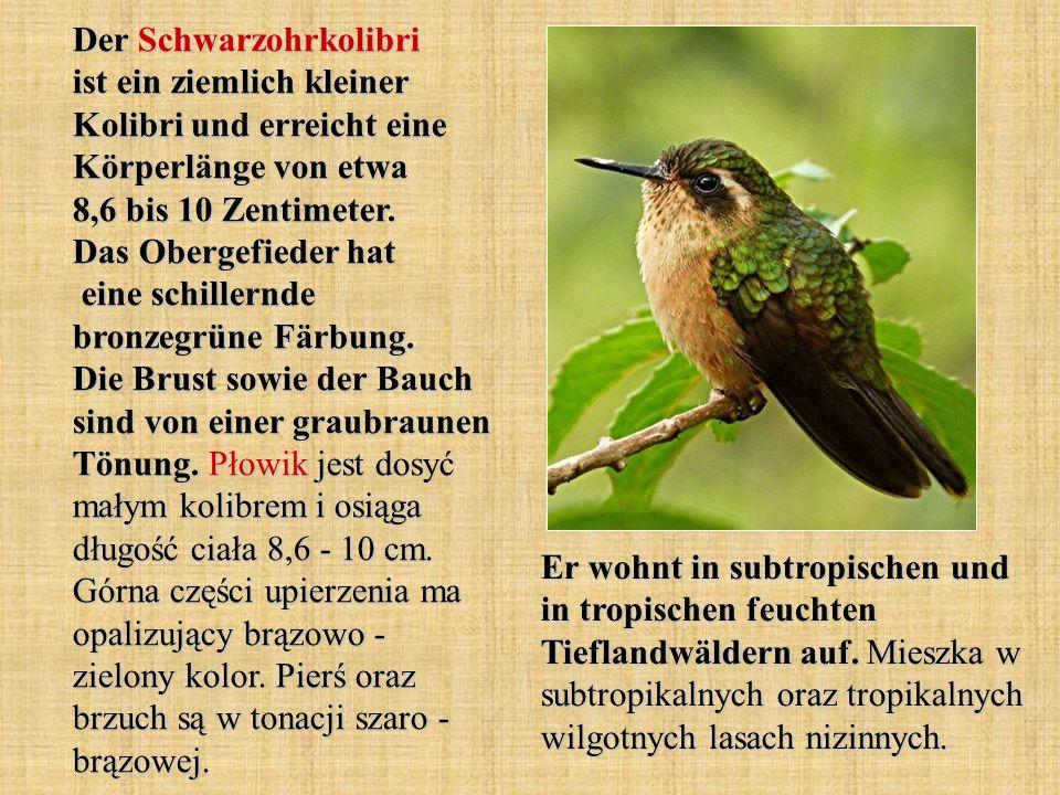 Der Schwarzohrkolibri ist ein ziemlich kleiner Kolibri und erreicht eine Körperlänge von etwa 8,6 bis 10 Zentimeter. Das Obergefieder hat eine schillernde bronzegrüne Färbung. Die Brust sowie der Bauch sind von einer graubraunen Tönung. Płowik jest dosyć małym kolibrem i osiąga długość ciała 8,6 - 10 cm. Górna części upierzenia ma opalizujący brązowo - zielony kolor. Pierś oraz brzuch są w tonacji szaro - brązowej.